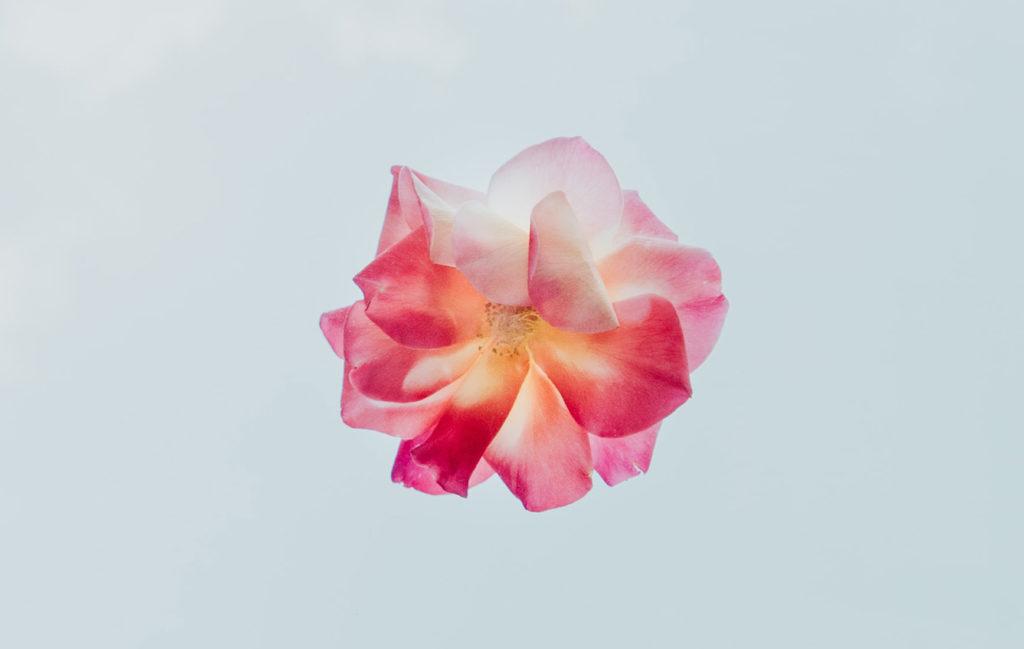 淡い青空に浮かぶ、ピンクの花が一輪の写真