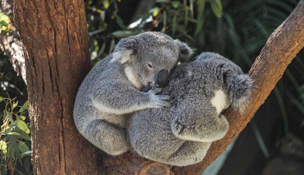 寄り添うコアラの写真