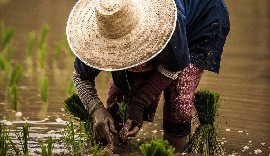 腰を曲げ、手作業で稲を植えるタイの田舎のおばあちゃん